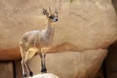 Goat. A picture of a small african goat Royalty Free Stock Images
