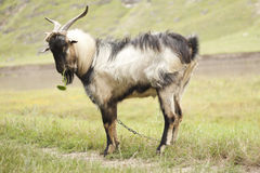 Goat. Eating green grass on river edge royalty free stock image