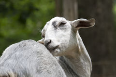 Goat. The grey goat taking care about herself stock image
