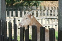 Goat. One goat with bright color Royalty Free Stock Photo