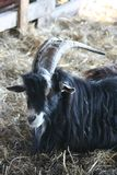 Goat. One goat with dark colors Royalty Free Stock Image