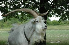 Goat. Next to tree Stock Photos