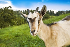 Goat. Smiling goat in the photo Stock Images
