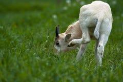 Goat Stock Image