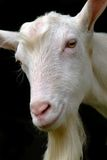 Goat. A head of a young goat looking at you Stock Image