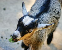 Goat. Portrait of young goat eating green leaf royalty free stock image