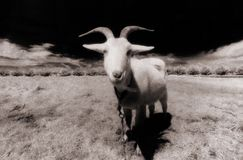 Goat. In field with barren landscape, infra red Royalty Free Stock Photos