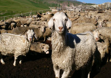 The goat. In  the high mountine farm. Caucasus Stock Photo