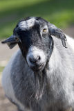 Goat. A black and white female goat royalty free stock photography