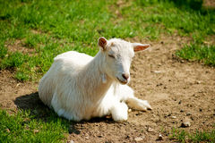 Goat. Sleeping on a field Royalty Free Stock Photography