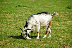 Goat. Eating some green grass Royalty Free Stock Image