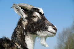 Goat. Closeup on sunny day Royalty Free Stock Photography