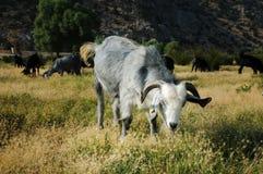 Goat Stock Photos