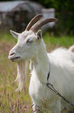 Goat. Portrait of the goat with the chain Royalty Free Stock Photography