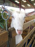 Goat 2� stock photography