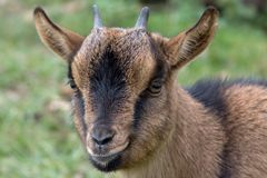 Goat 2. Portrait of a goat in a green meadow Stock Photography