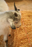 Goat 2 Royalty Free Stock Image