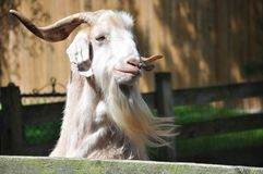 Goat. Rescued goat waiting for visitors to share a few corn kernels. Loves visitors Royalty Free Stock Photography