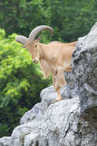 Goat. Old male brown kid Stock Photography