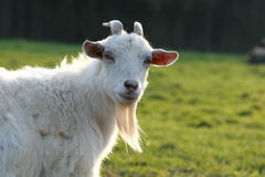 Goat. A female goat looking proud and inquisitive Stock Images