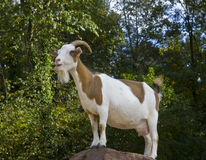 Goat. Standing on the rock Royalty Free Stock Photo