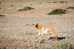Goat. Brown goat in Ronda, Spain Stock Photography