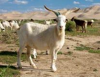 Free Goat Stock Photos - 23015473