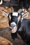 Goat. Close-up of bleating goat stock image