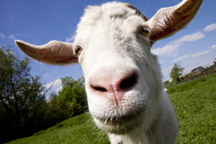 Goat. White horned goat on a green pasture stock image