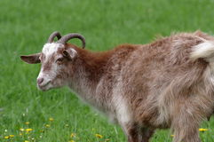 Goat. A portrait of young goat on the meadow Royalty Free Stock Photography