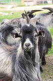 Goat. African dwarf goat in gray and white colors Royalty Free Stock Photo