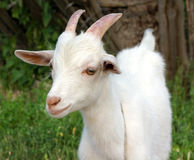 Goat Stock Photos