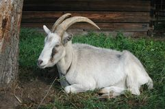 Goat. Under a tree stock photography