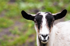 Goat. Close up of a goat from steppe Stock Photos