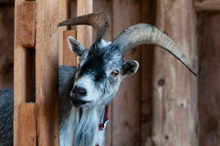 Goat Royalty Free Stock Photo