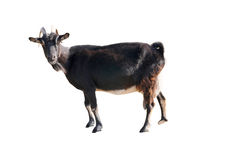 Goat. Standing up isolated on a white background royalty free stock images