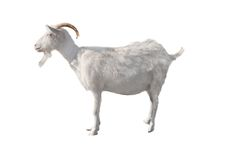 Goat. Standing up isolated on a white background royalty free stock photography