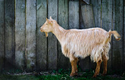 Goat. Image of a goat sheltering in the shadow of a barn Royalty Free Stock Photography