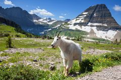Goat Royalty Free Stock Images