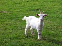 Free Goat Stock Photo - 272900