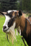 Goat. Herding in the meadow royalty free stock photography