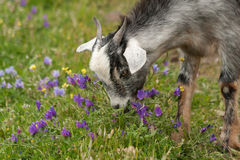 Goat. Young goat eating flowers Stock Photos