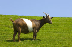 Goat. A goat in a green field with blue sky stock photos