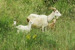 goat 免版税图库摄影