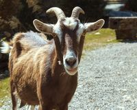 Goat. A goat stops and poses for its portrait photo, taken in New Zealand stock photography