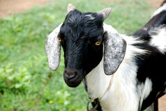 A goat stock photography