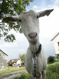 Goat. Animals Royalty Free Stock Image
