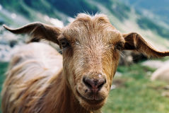 Goat. Close up of a goat from mountians Royalty Free Stock Images