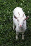 Goat. Young goat royalty free stock photo