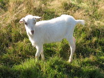 Goat. An young white goat in a meadow Stock Photo